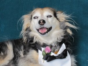 "Benny, Grey Muzzle Senior Spokeshound, says ""Love Is Ageless"""